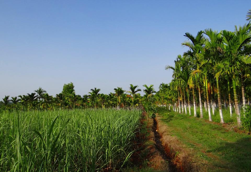 Sugarcane in Hyderabad